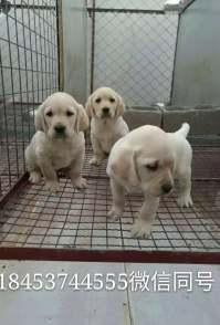 拉布拉多犬金毛犬,萨摩耶犬,德牧犬边牧犬,马犬大小都有价格低