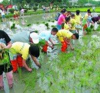 大鹏农耕插秧苗种水稻