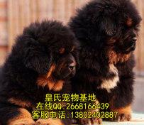 出售纯种藏獒幼犬 血统好 毛