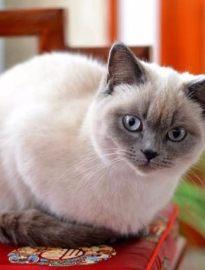上饶英短蓝猫 渐层 蓝白 美短虎斑 起司 折耳(包纯种健康)