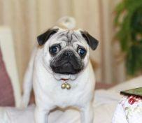 纯种巴哥犬习性 巴哥犬有哪些