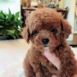 买了只泰迪犬,纯种泰迪