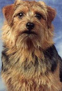 出售纯种蓝眼睛三把火哈士奇幼犬