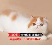 宠物猫波斯猫纯种黄白色波斯猫