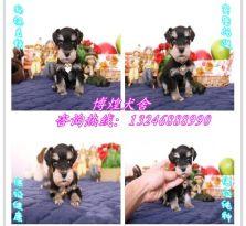 广州哪里有雪纳瑞卖 萨摩耶 贵宾 柴犬 阿拉斯加多少钱价格