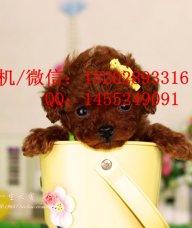 重庆哪里有泰迪犬卖 重庆的泰迪好多钱一只 纯种泰迪多少钱