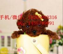 重庆哪里有泰迪犬卖 重庆的泰