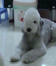 贝林登梗-杭州名犬