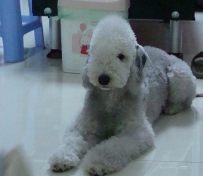 贝林登梗-上海名犬