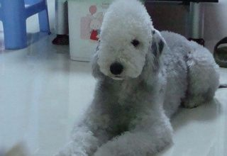 贝林登梗-天津名犬