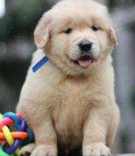 金毛幼犬天真活泼 性格好