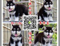 养殖场出售大型犬 阿拉斯加 高加索 德牧 藏獒 秋