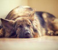 犬舍,三个月德牧幼犬包纯,包