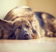犬舍,三个月德牧幼犬包纯,包健康