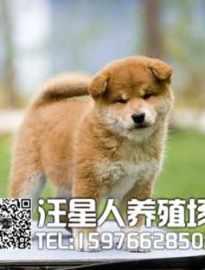 广州哪里有卖日系柴犬