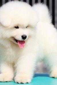 西安宠物店出售萨摩耶