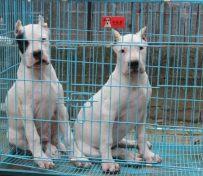 杜高犬多少钱一只