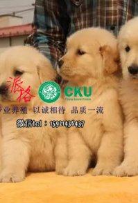 重庆哪里出售纯种金毛