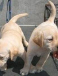 重庆出售拉布拉多幼犬 重庆哪里卖纯种拉布拉多犬