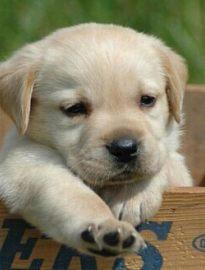 泉州养殖基地直销拉布拉多及其它幼犬 签协议 送用品