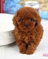 重庆九龙坡泰迪犬