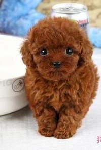 长沙宠物专卖店出售泰迪