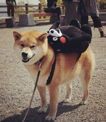 酷炫的柴犬