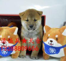 三个月柴犬幼犬出售