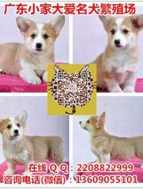 广州柯基犬价格 广州哪里有卖柯基犬