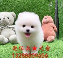 博美幼犬出售