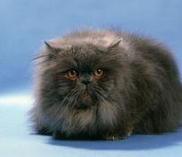 波斯猫-烟台萌猫