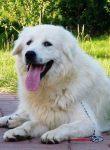 大白熊犬活多少年 平均寿命一般在12到15岁