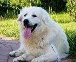大白熊犬起什么名字 可以起个简单上口的名字