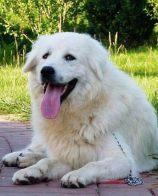 大白熊犬好养么 大白熊不好养不是很能吃