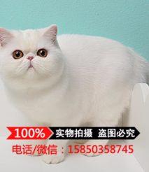 出售加菲猫宠物猫 红虎斑纯种活体异国短毛猫幼猫 大