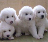 大白熊犬好养么 大白熊不好养