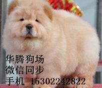 纯种松狮犬价格广州哪里有卖松