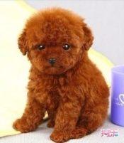 本地犬舍出售纯种泰迪熊幼犬质保三年签署协议