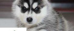 盛诚犬业十多年的养殖经验 养殖纯种哈士奇幼犬 当面测试交易