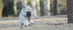 荷兰毛狮犬有白色吗 荷兰毛狮犬都是混合灰色