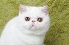 加菲净梵 高白 红虎斑 黑白梵花 大包子脸(包纯种健康)