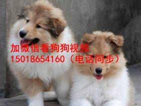 广州正规狗场出售苏格兰牧羊犬