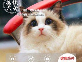 广州布偶猫出售