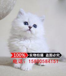 出售金吉拉幼猫长毛猫纯种家养银渐层绿眼宠物猫活体
