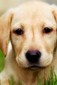 济宁拉布拉多宠物狗底价出售