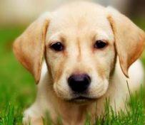 导盲犬拉布拉多出售