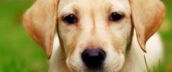 拉布拉多幼犬 神犬小七 导盲犬家庭伴侣犬陪伴小孩