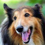 当狐狸爱上澳洲牧羊犬 每天都笑得超开心