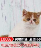 加菲猫 活体 幼猫小奶猫宠物猫净梵三花红虎斑家养