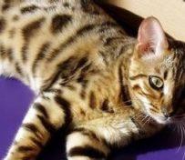埃及猫-烟台萌猫